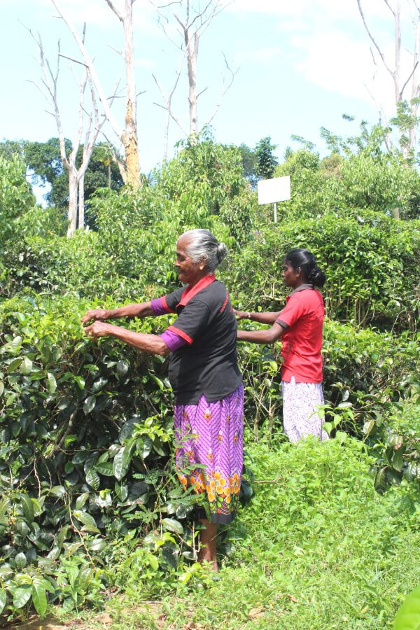 Virgin White Tea Plantation In Galle | berrysweetlife.com